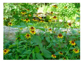 free Black-Eyed Susan and Butterfly Milkweed seed packs