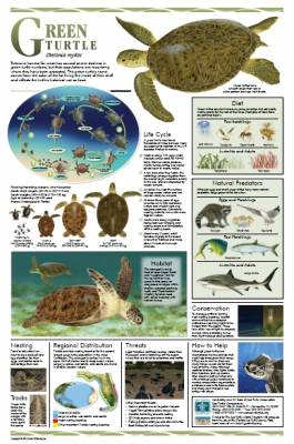 Florida Sea Turtle Life History Posters -FLA