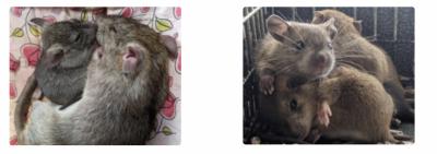 free Pet Roof Rats